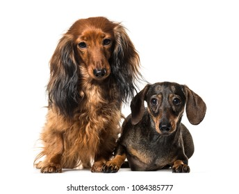 Two Sitting Dachshund Dogs, isolated on white