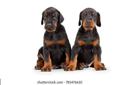 Two sitting doberman puppies isolated on white.