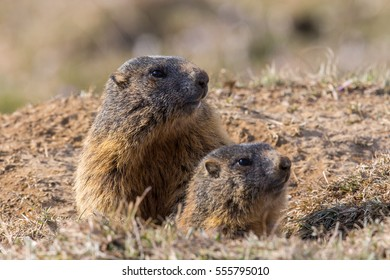 Two sitting groundhogs (Marmota monax) in nature