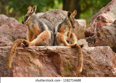 Two sitting Kangaroos, Petrogale xanthopus, The yellow-footed rock-wallaby, ring-tailed wallaby