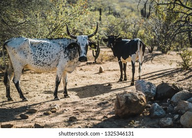 Two skinny cows