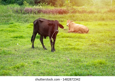 Two skinny cows on a country farm in Thailand.
