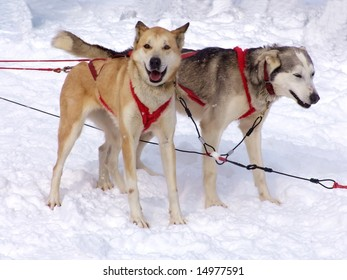 Two sled dogs on snow. Winter, Sled Dog Race, Ontario, Canada.