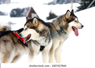two of sled dogs running through lonely winter landscape