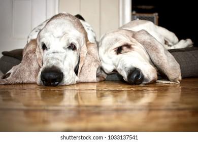 Two sleeping basset hounds