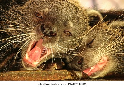 Two sleepy bearcats or binturong (Arctictis Binturong) in Ben tre, Vietnam