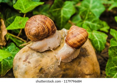 Two Slimy Snails on a Stone