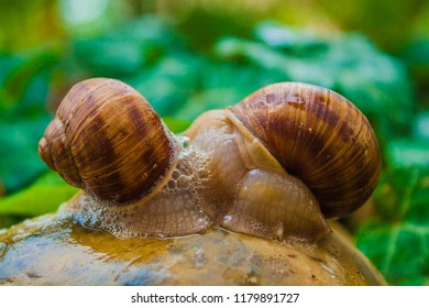 Two Sluggish Snails Hugged Each Other on a Stone with Green Background