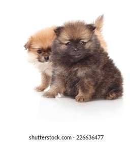 Two small and beautiful spitz puppies. Pomeranian puppy dog on white background. Spitz dog on white background. Very small breed dog puppies.