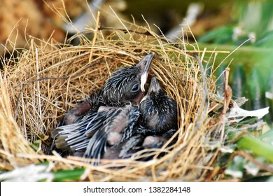Two small black birds, living in a bird's nest made of grass on a green palm leaf in the garden.