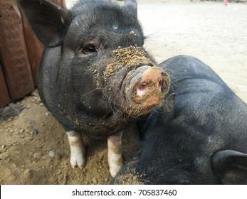 Two small black pigs at farm