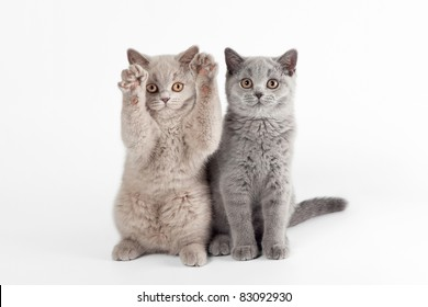Two small british kittens on white background