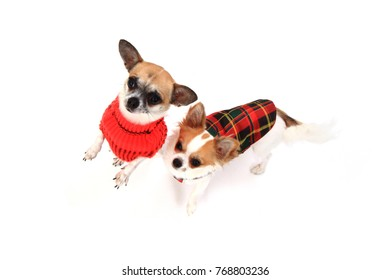 two small chihuahua isolated on the white background