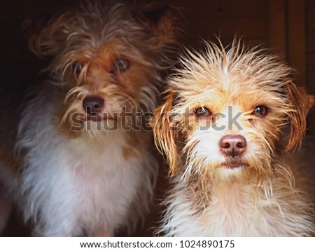 Two Small Curly Big Mini Dogs Stock Photo Edit Now 1024890175