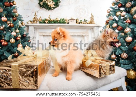 Two Small Cute Funny Pomeranian Dogs Stock Photo Edit Now