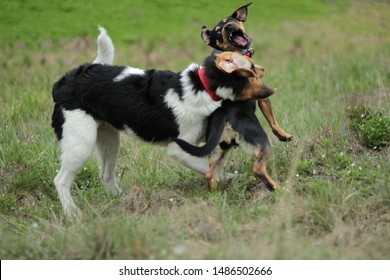 two small dogs fight with each other, play, happy in the yard, in pursuit of a second dog