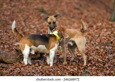 Two small dogs sniffing each other in the forest covered with fallen leaves.
