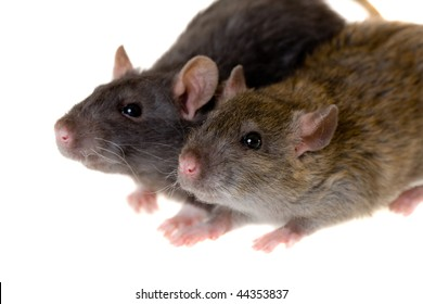 Two small domestic rats isolated on white