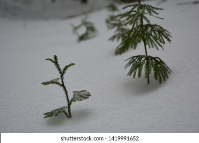 Two small evergreen saplings standing alone in the deep woods of New England. Freshly fallen snow sets them on an untouched background of white.