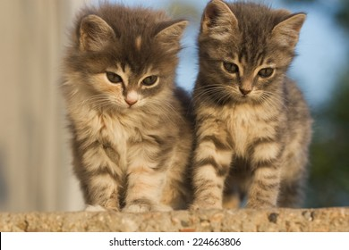 Two small fluffy kitten looking down