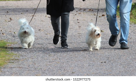 Two small fluffy white dogs going out with their owners. Male owner is wearing jeans and the female one black trousers. The dogs are on leash.