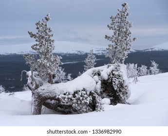 Two small icy and snowy pine trees on ridge of a fell in Lapland, Finland on cloudy winter day