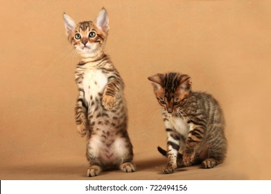 Two small kittens of the breed Toyger. One kitten stood on its hind legs.