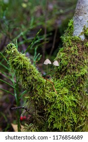 Two small mushrooms in forest