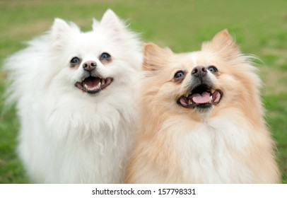 Two small pomeranian mix dogs, smiling up at the camera.