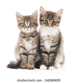 Two small Siberian kittens on a white background.