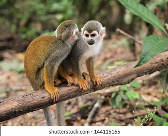 Two small squirrel monkeys sitting on a tree branch in the Amazon rainforest on the Monkey Island on Amazon river between Colombia, Peru and Brazil. Landscape orientation.