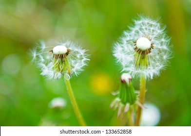 Two small white blossoms on green grass background