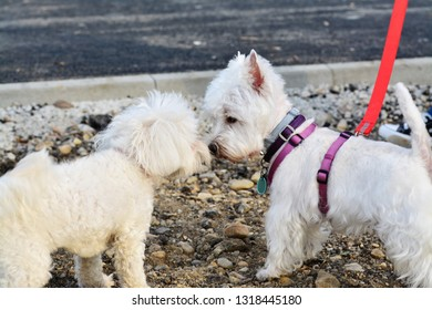 Two small white dogs greet each other canine style. Westie and Bichon Frise sniff each other collecting information.