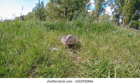 Two small young gophers (ground squirrel) feed in green grass. Face, mustache, nose, eyes.