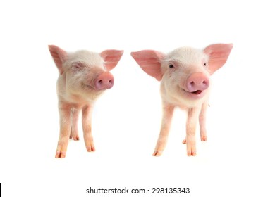 two smile pig on a white background