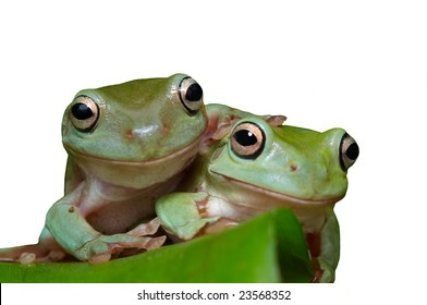 Two Smiling frogs Litoria caerulea on a leaf