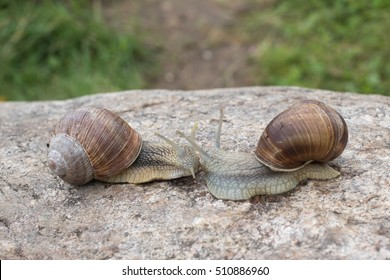 Two snails crawling along the stone and meet each other