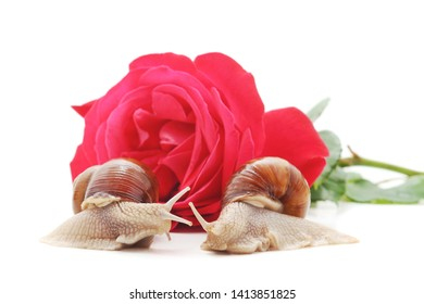 Two snails with a rose isolated on a white background.