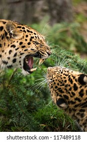 two snarling leopards face off against each other/Snarling Leopards