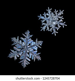 Two snowflakes isolated on black background. Macro photo of real snow crystals: elegant stellar dendrites with ornate shapes, glossy relief surface, hexagonal symmetry and complex inner details.