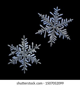 Two snowflakes isolated on black background. Macro photo of real snow crystals: elegant stellar dendrites with glossy relief surface. Each snowflake presented at real scale relative to another one.