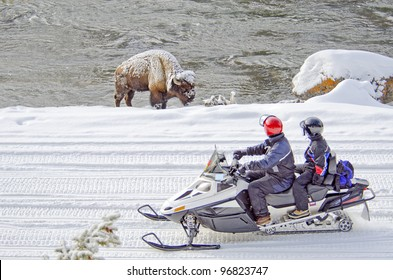 Two snowmobilers view a bison in Yellowstone National Park, Wyoming, U.S.A..