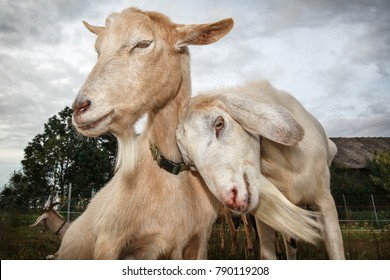 Two snuggle up goats