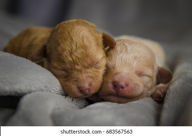 Two snuggly newborn apricot purebred apricot poodle puppies with closeup of pink noses on a soft gray backdrop. They are sleeping and their eyes have not opened yt.