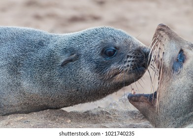 Two social lion seals in funny pose - checking teeth