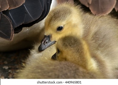 Two soft and cute looking Canada Goose chicks under partly visible feathers of mother wing Two geese chicks under protection of adult goose wing with one chick looking at camera.