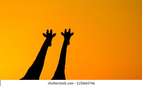 Two Southern Giraffes stand side-by-side at sunset in Deception Valley in the Central Kalahari Game Reserve, Botswana.