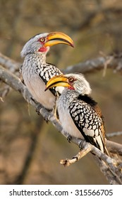 Two Southern Yellow-billed Hornbill on a dead tree