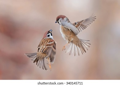 two sparrows in flight flying towards each other