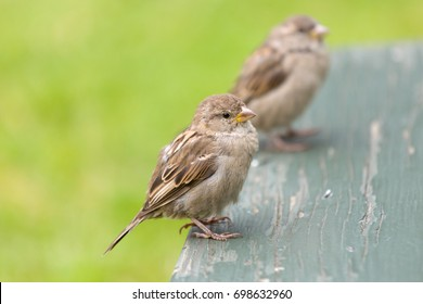 two sparrows on a picknick table standing on the grass. The birds are waiting to get fed some bread crumbs. This makes them look very tame.